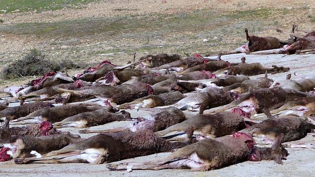 Piezas de caza mayor con destino para carne de consumo