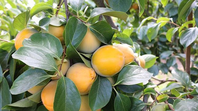 El fruto naranja se ha adaptado con gran éxito al clima benévolo de la costa de Huelva
