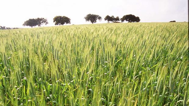 Trigo en crecimiento en una plantación