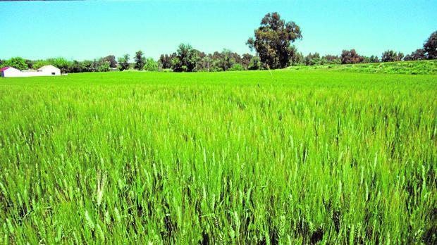 Un campo de trigo con el característico color verde previo al verano