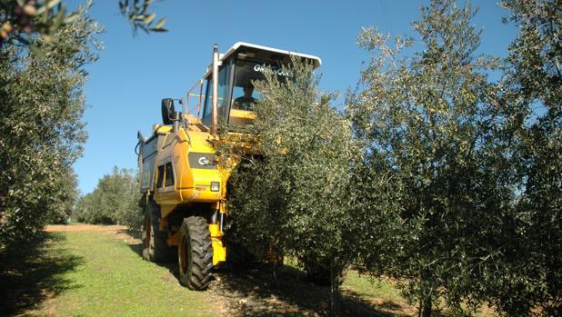 Tractor en una plantación de olivo