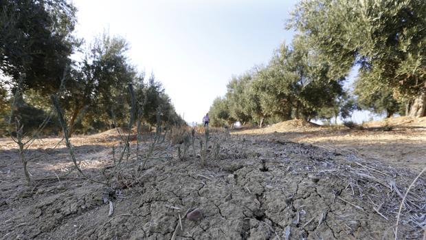 Olivar de la finca Rojas Alto afectado por la sequía