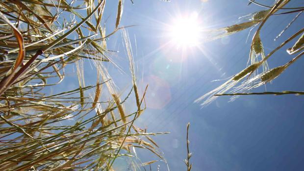 Los trigos están afectados por la sequía