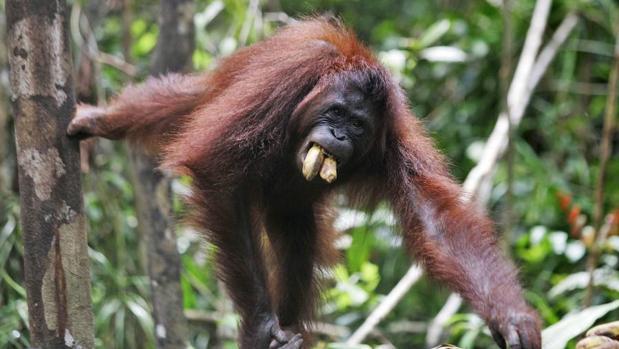 La construcción de una presa podría extinguir a una especie de orangután recién identificada
