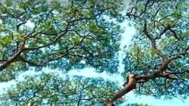 Vídeo: La timidez de los bosques frondosos
