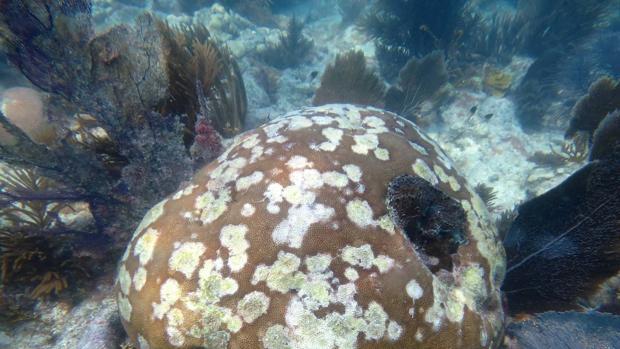 Grave enfermedad de corales une a EE.UU. en rescate de este animal marino