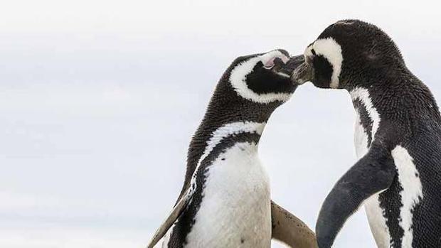 Hallan, por primera vez, restos de microplásticos en las heces de los pingüinos de la Antártida