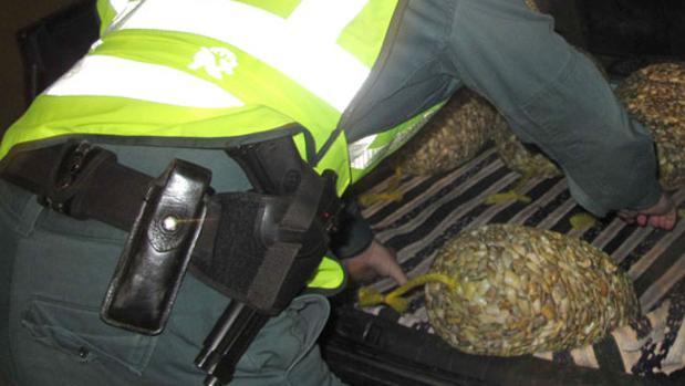 Un agente de la Guardia Civil inspecciona el interior de un vehículo que transportaba coquinas contaminadas