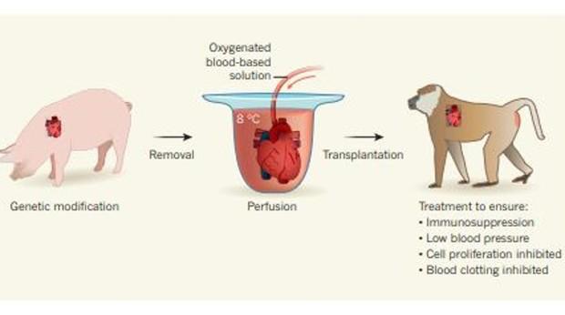 Los investigadores utilizaron los corazones de los cerdos, para, una vez tratados, trasplantados a los monos